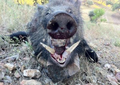 Jabali, caza en España