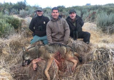 Lobo, caza en España