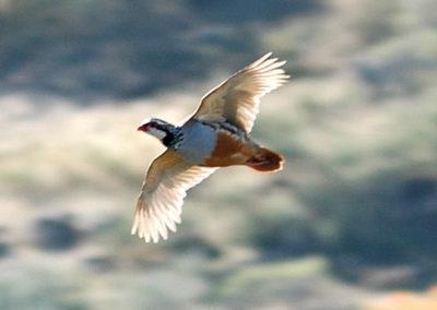 Perdices, caza en España
